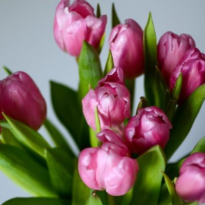 Alluring Pink Tulips