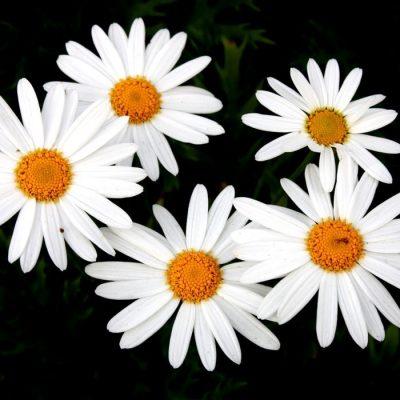 Beutiful White Daises