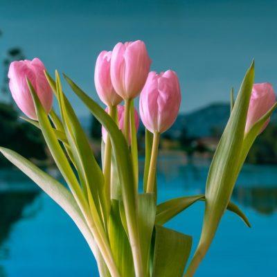 Beautifil Tulips