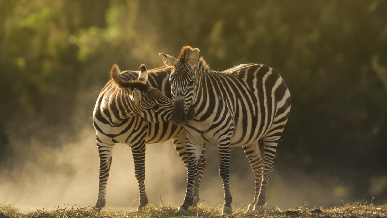 Closeup shot of two zebras cuddling with a blurred background