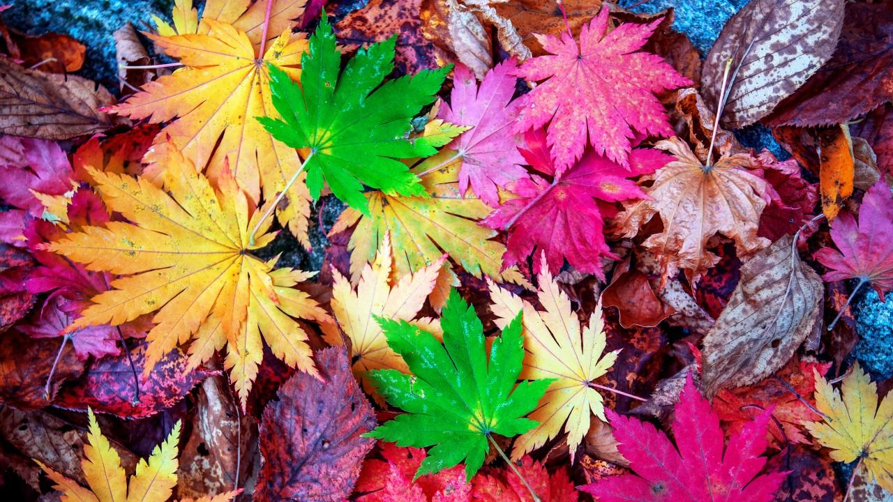 Maple in autumn.